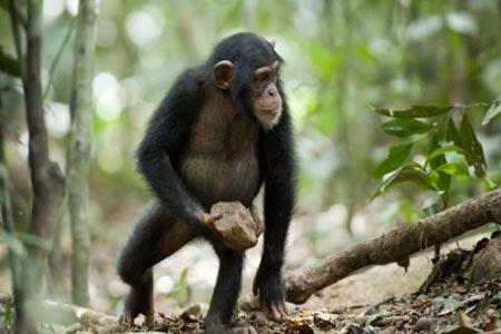 الشمبانزي تشاشا وخطة الهروب المثيرة