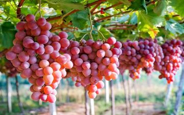 على مائدتك غذاء ودواء.. «العنب.. ملك الفاكهة»
