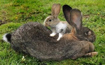 أضخم أرنب في العالم يزن 22 كيلوجراماً