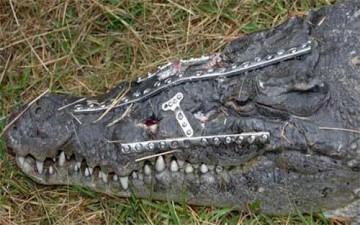 سمينة تقع على تمساح وتصيبه بجروح خطرة