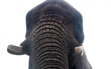 فيل مزاجه «عالی» يرسم أعمالا فنية تساوی آلاف الدولارات