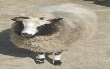 دفع حياته ثمناً لدهسه ساق خروف عيد الاضحى