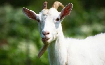 اعتقال «عنزة» أكلت من عشب «مسؤول»
