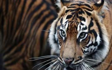 نمر يفترس حارسة حديقة حيوانات